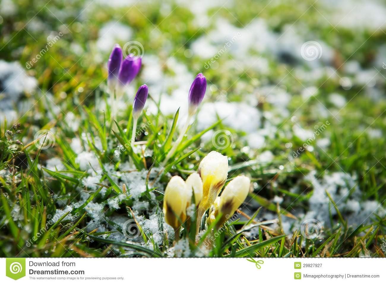 Flowers Growing In Snow Stock Image Image Of Green Grass 29827927