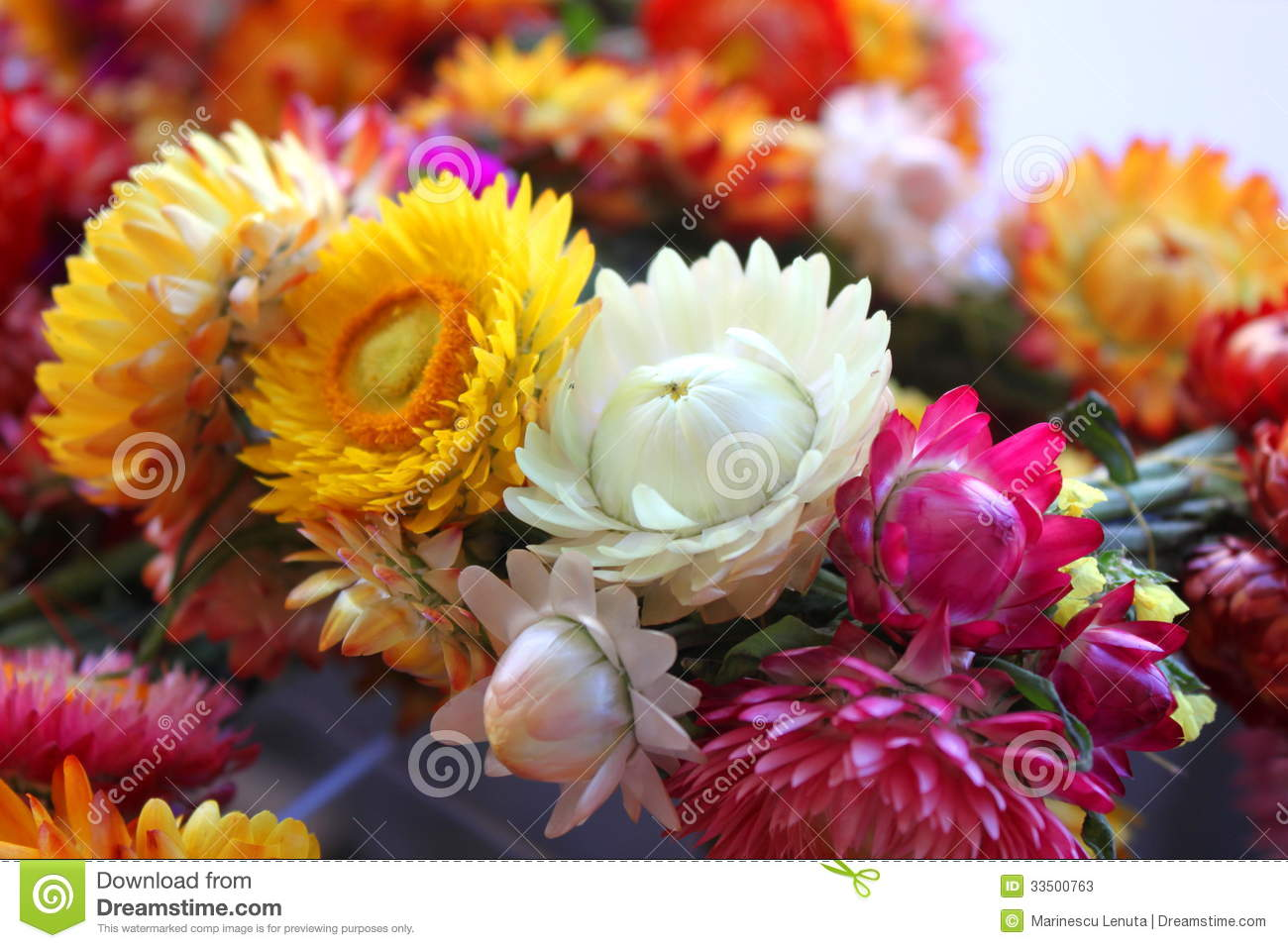 Helychrysum immortelle flowers stock photos image for What makes flowers different colors