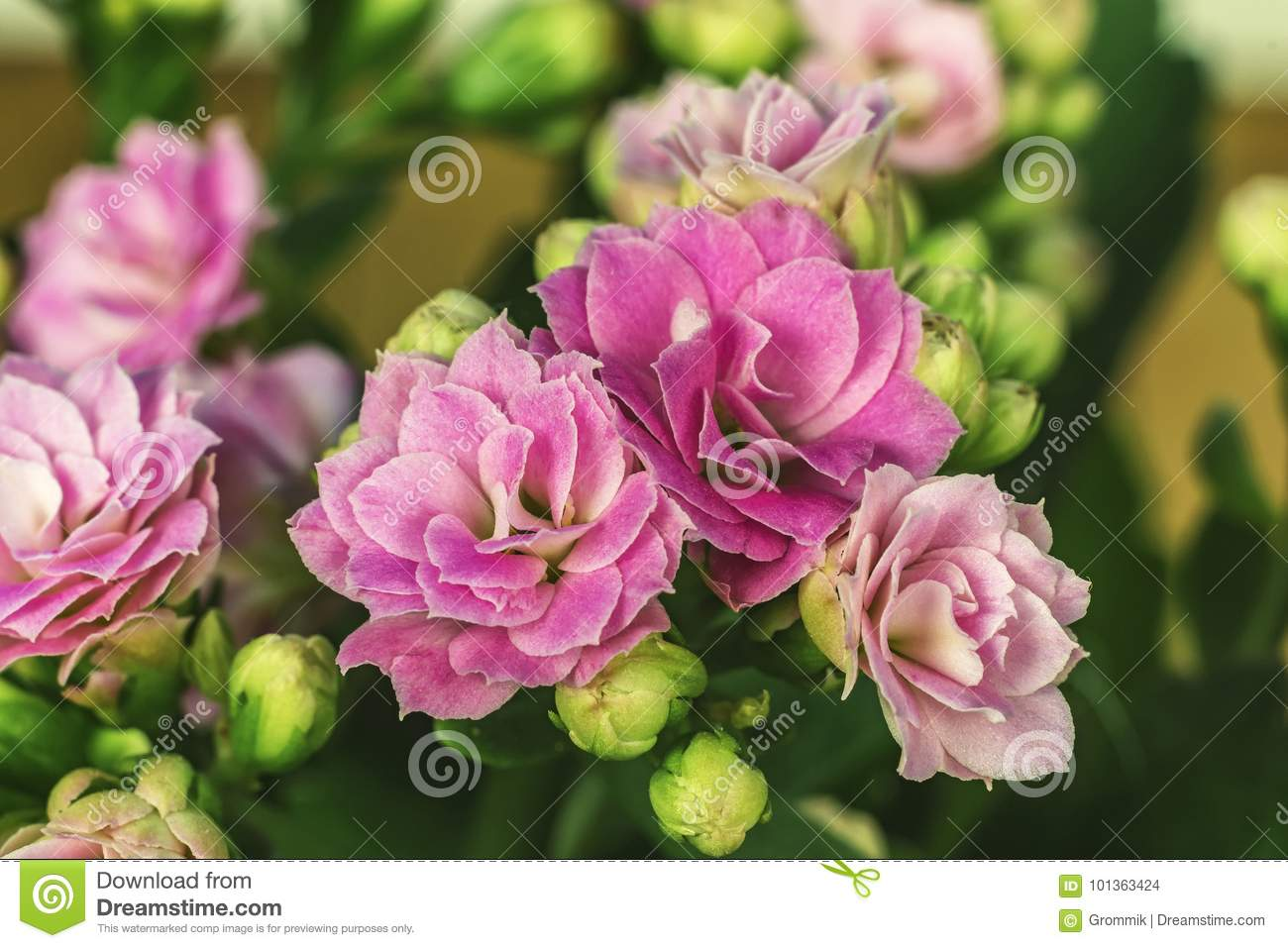 Flowers Kalanchoe Close Up The Genus Of Succulent Plants Of The