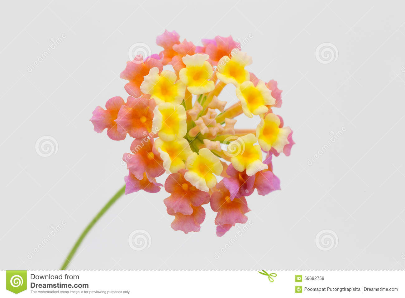 Flowers lantana isolated on a white background stock image image flowers lantana isolated on a white background mightylinksfo