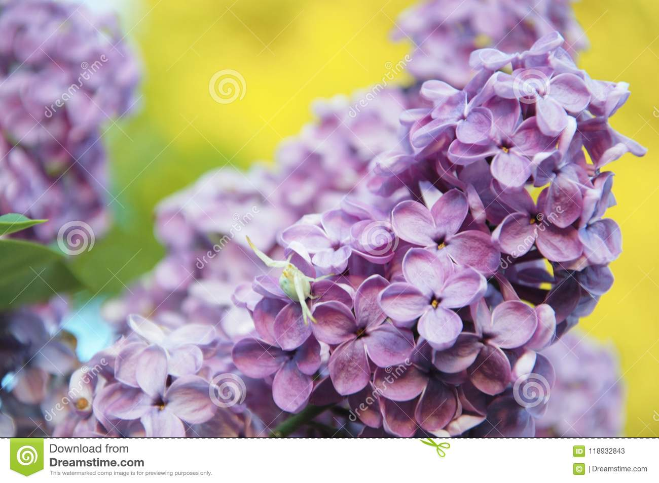 Flowers of the lilac plant blooming in late spring stock image flowers of the lilac plant blooming in late spring mightylinksfo