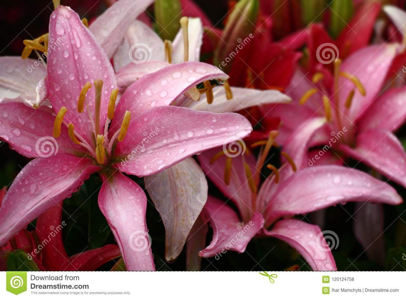 Lilies Pink Variety Stock Photo Image Of Grows Hybrid 120124758