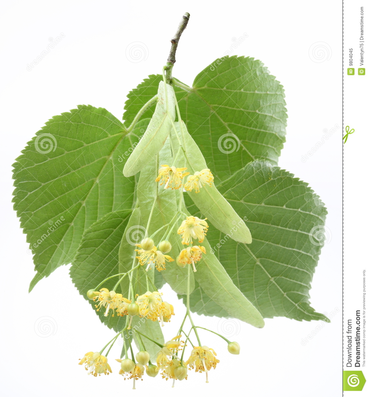Flowers Linden tree Royalty Free Stock Image