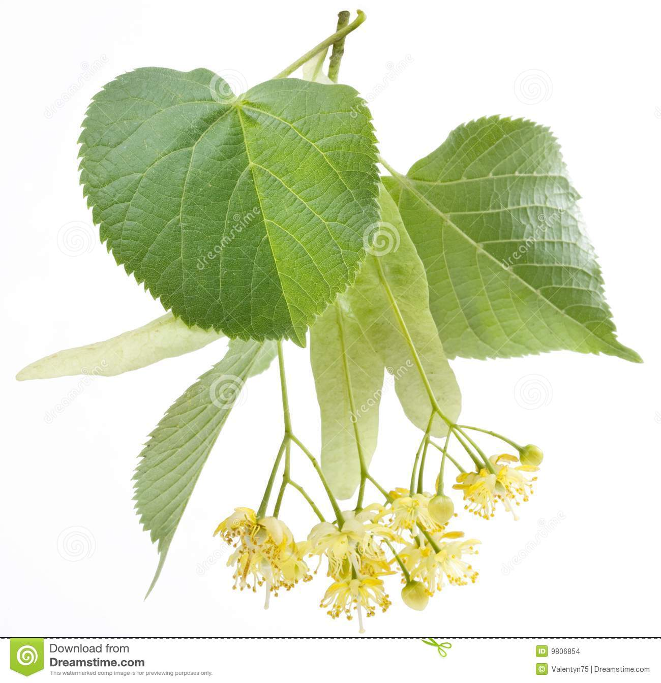 Image result for linden tree image