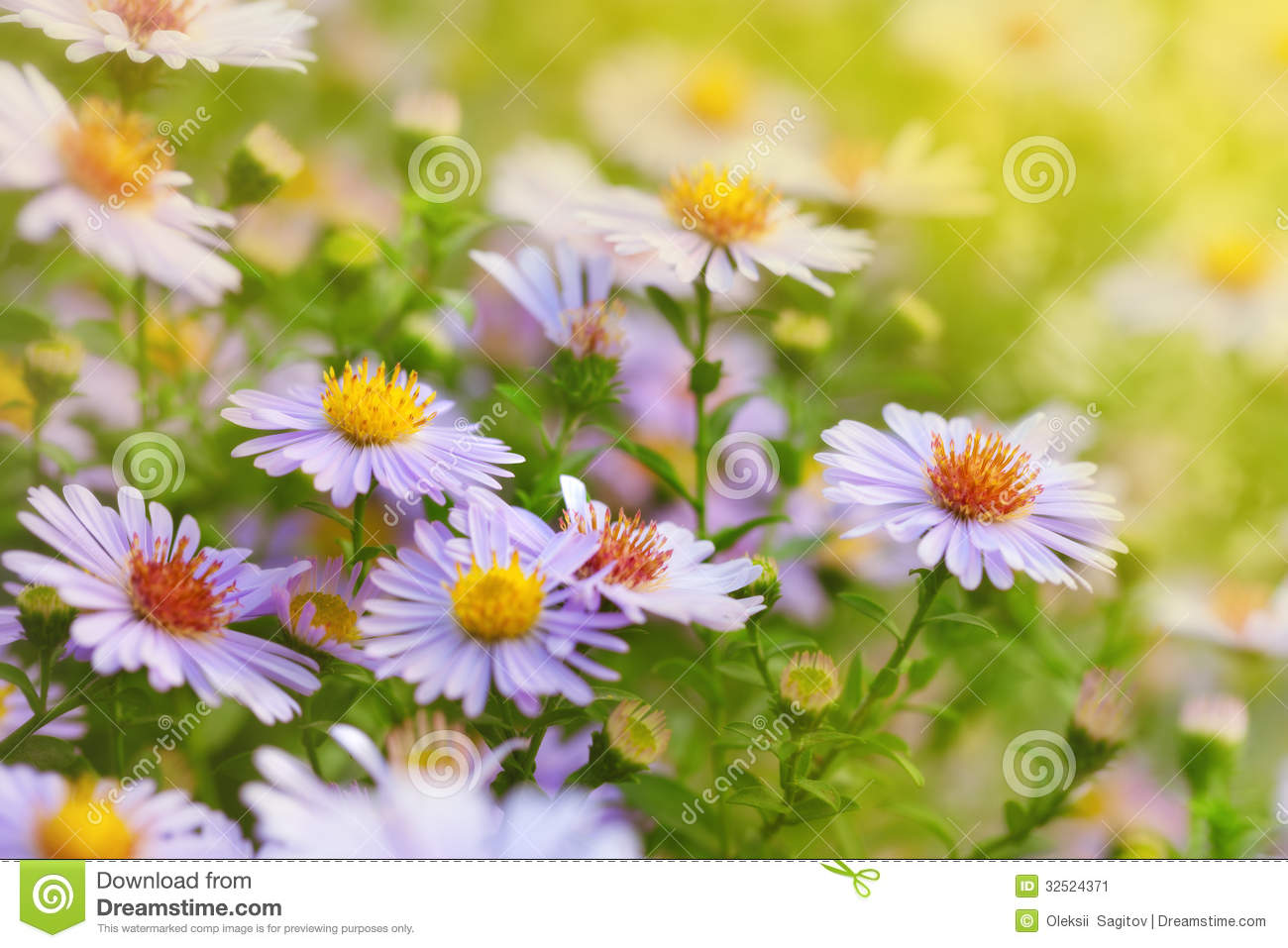 Flowers Michaelmas Daisy