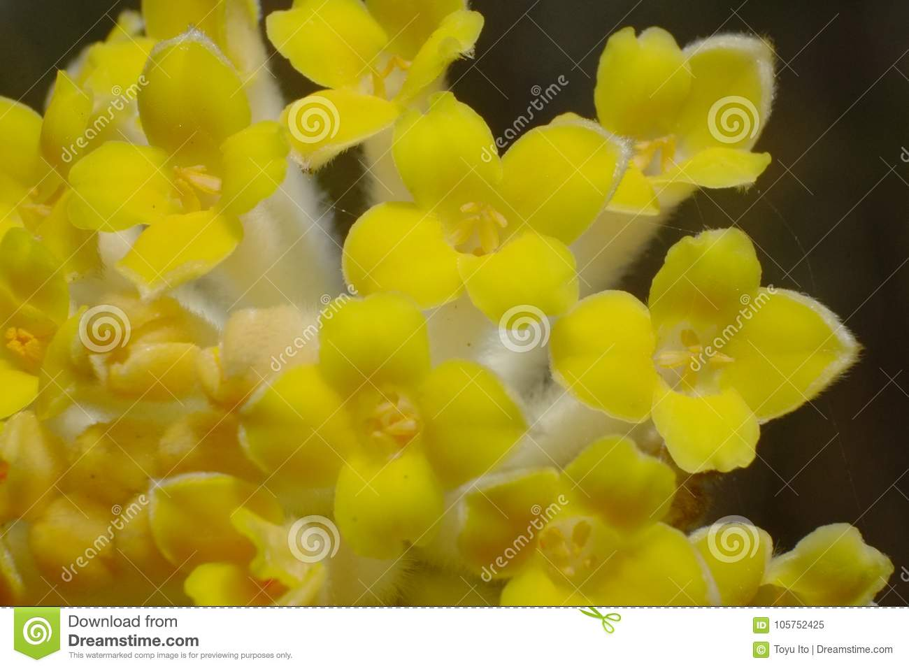 A Flower Of Mitsumata That Blooms Beautiful Yellow Flowers That