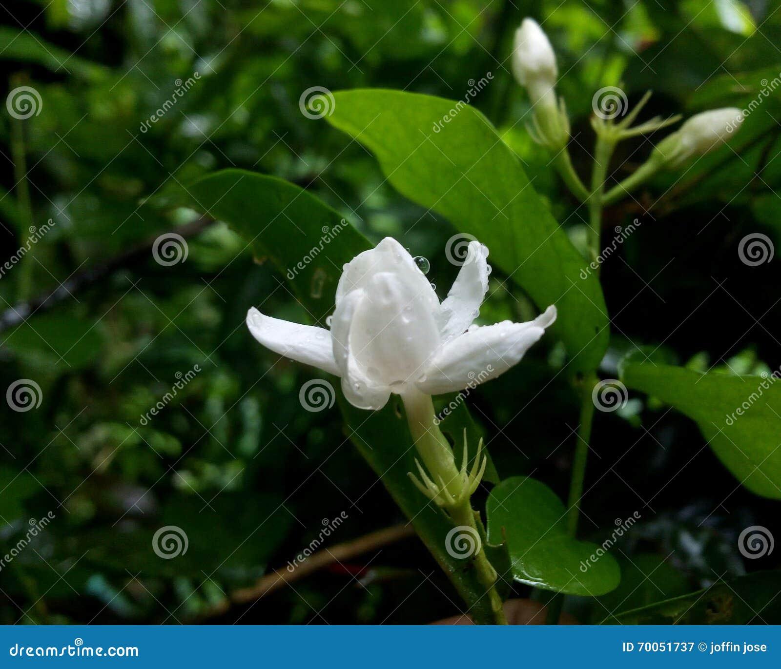 White Jasmine With Rain Drops