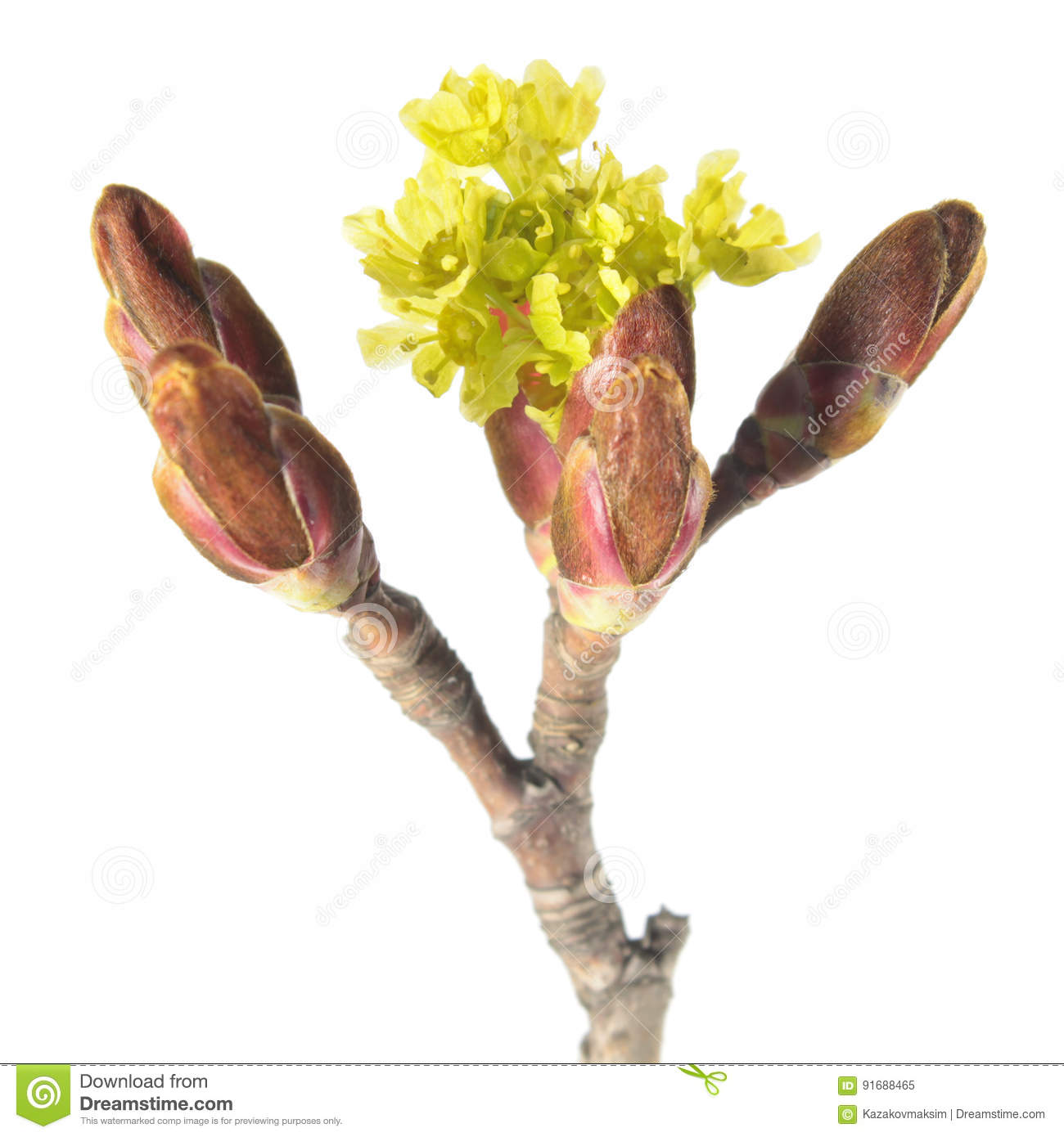 Flowers of Norway maple isolated on white background
