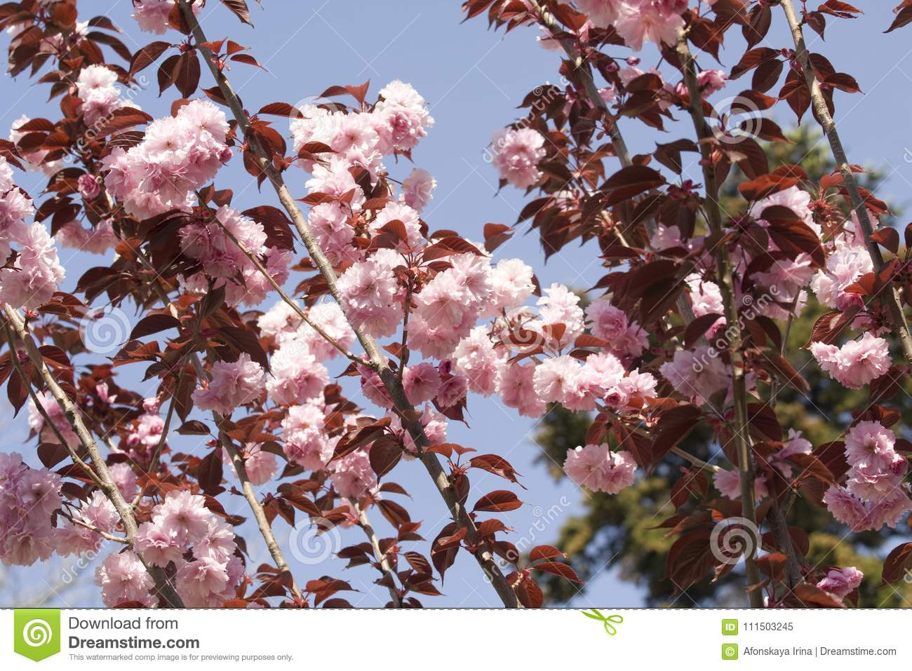 Japanese Bird Cherry Tree Stock Image Image Of Japanese 111503245