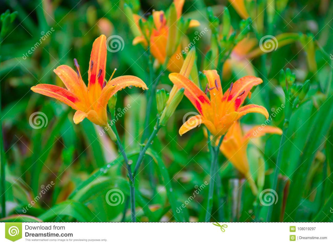 The flowers of the orange lily in the spring stock image image of download the flowers of the orange lily in the spring stock image image of hemerocallis izmirmasajfo
