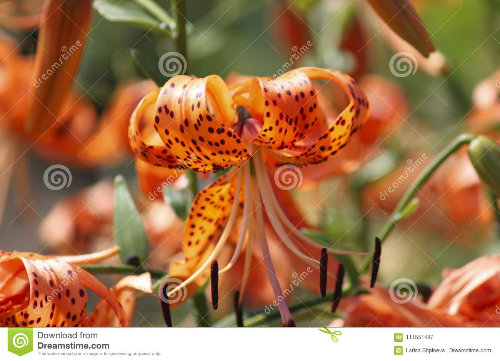 Flowers of orange tiger lilies lilium in garden on blurred flowers of orange tiger lilies lilium in garden on blurred background izmirmasajfo