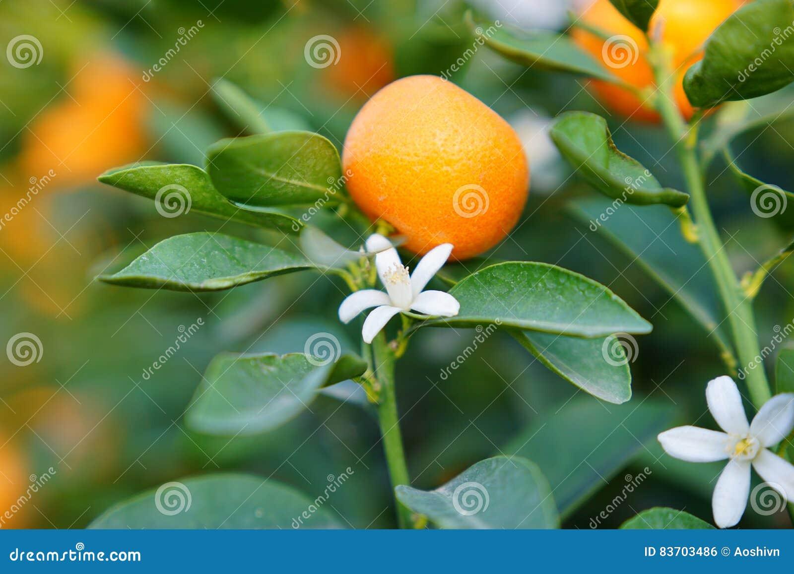 Flowers Of An Orange Tree Stock Photo