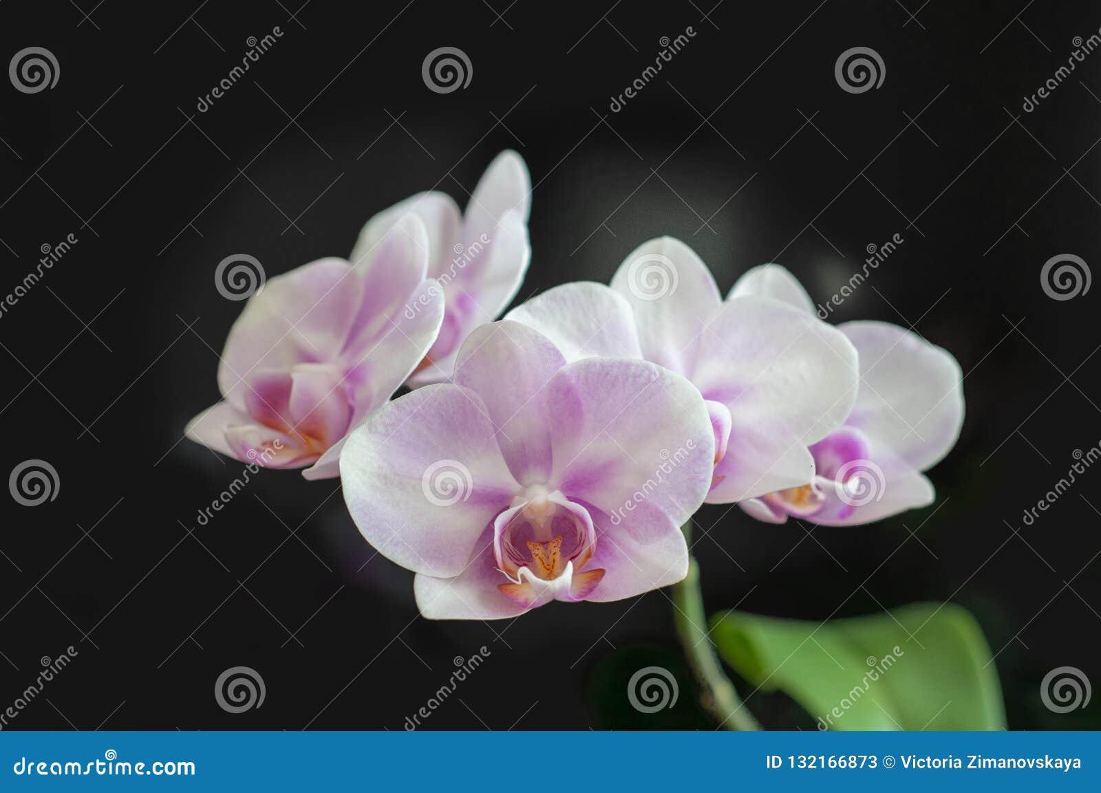 Flowers Orchid Phalaenopsis Miki Sakura close-up on dark background