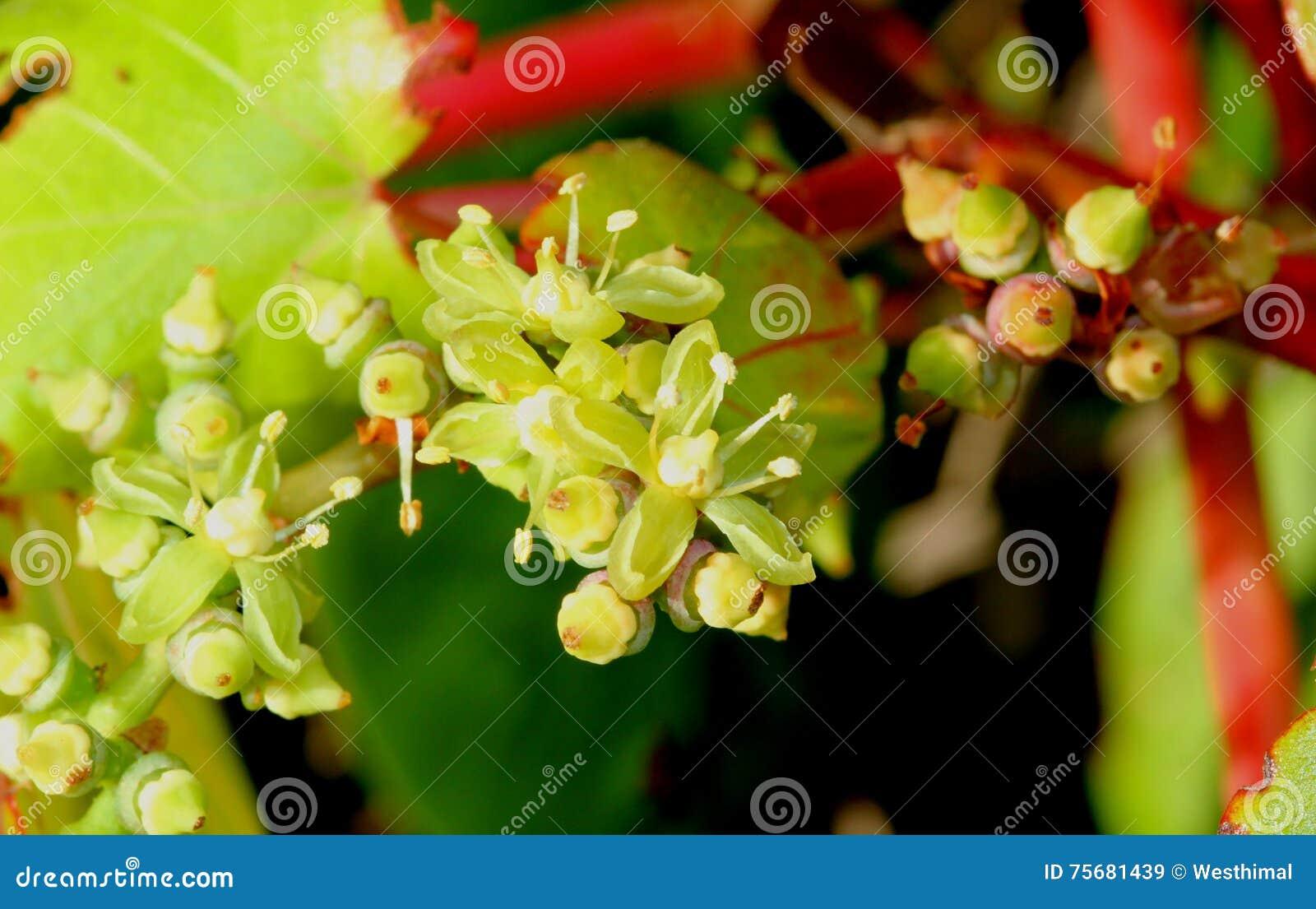 Flowers Of Parthenocissus Tricuspidata Japanese Creeper Grape Ivy