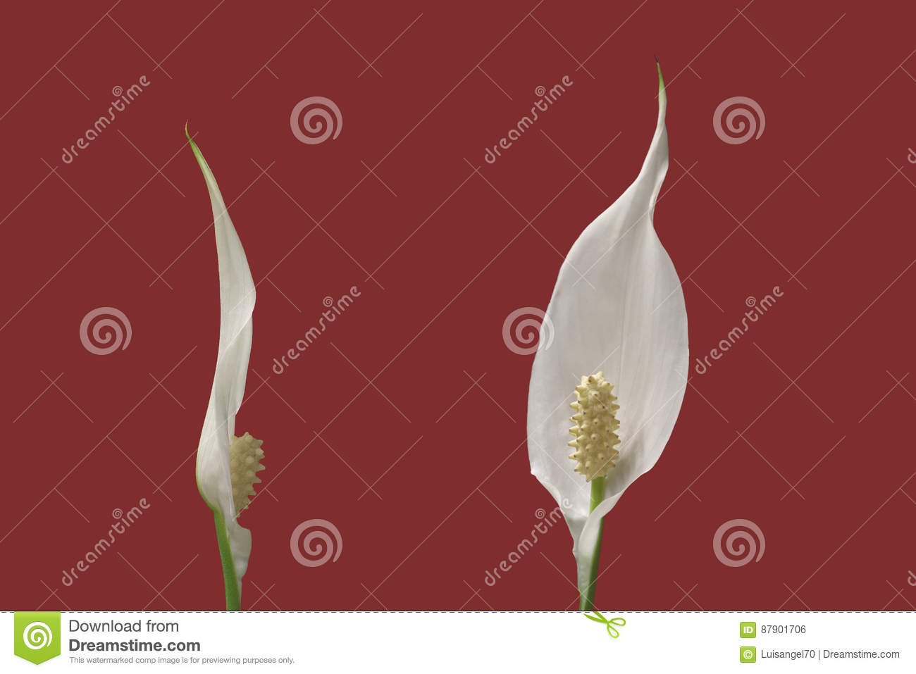 Flowers Of Peace Lily Plant On Red Background Stock Photo - Image of on low light zz plant, philodendron house plant, lily of the valley plant, spathiphyllum plant, chinese evergreen indoor plant, peace prayer lily plant, lily with beta fish plant, red with a lily like plant bloom, wedding peace lily plant,