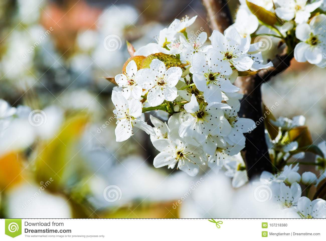 The Flowers Of The Pear Tree Are White Stock Photo Image Of