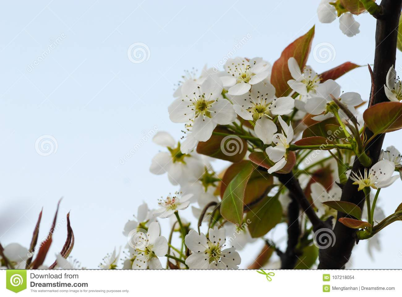 The flowers of the pear tree are white stock photo image of pear trees deciduous trees leaf yuanru psiocarpa stem thick skin care such as the umbrella support branch spring flower flower and color white mightylinksfo