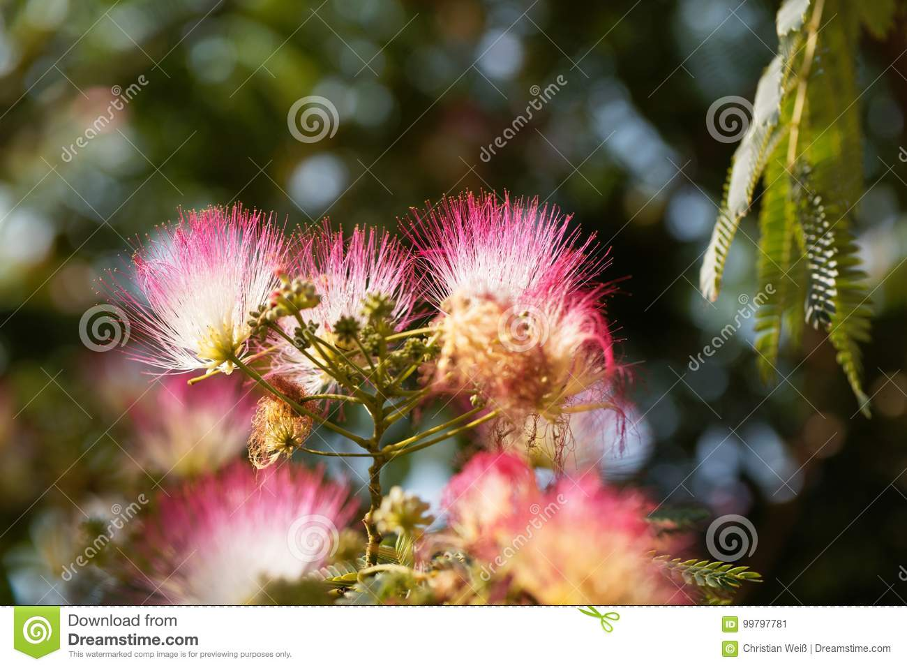 Flowers Of A Persian Silk Tree Stock Image Image Of Garden