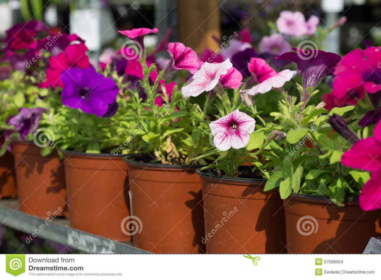 Flowers petunias in pots stock photo image 57566924 - Growing petunias pots balconies porches ...