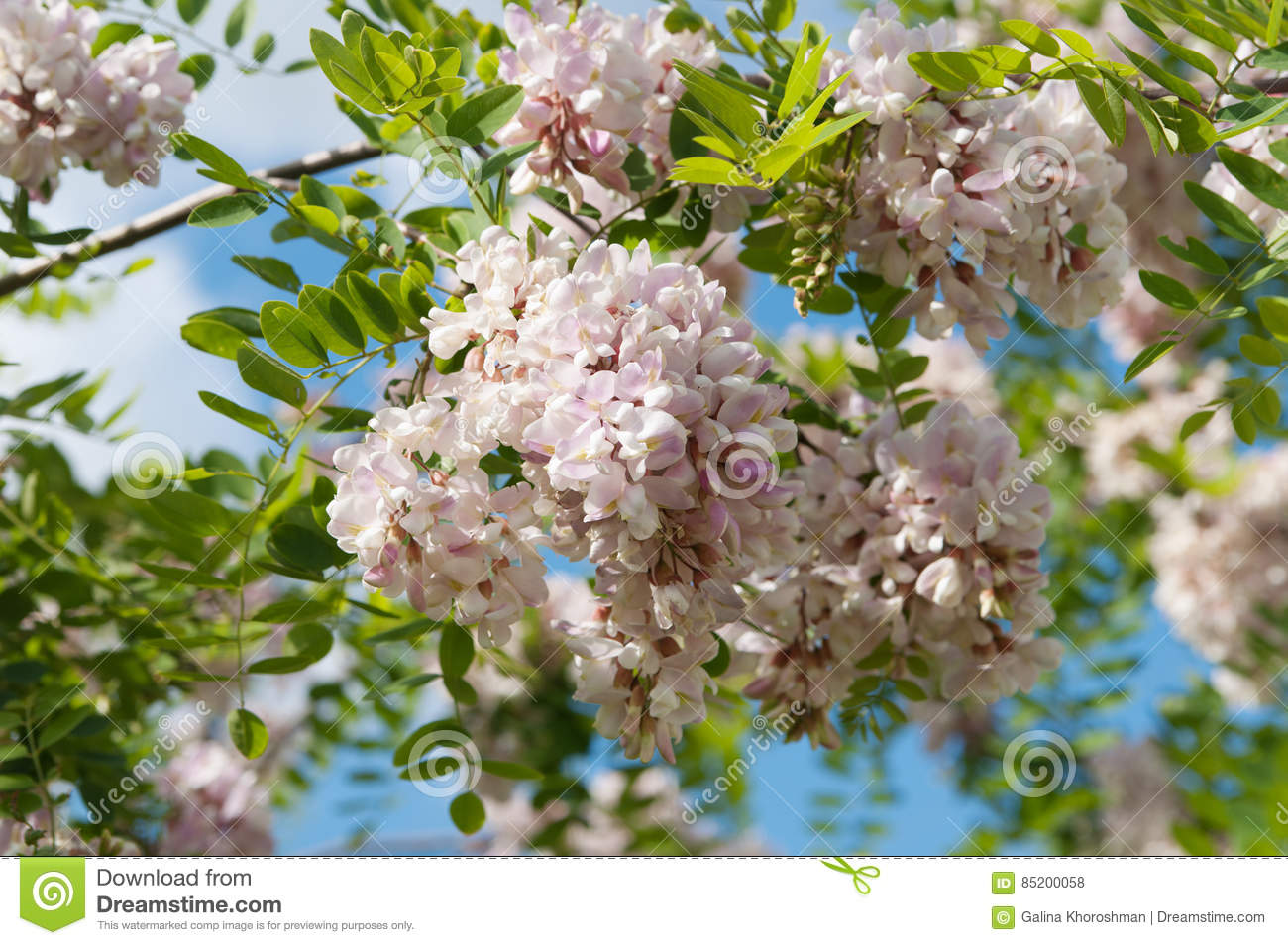 Flowers Of Pink Acacia Tree Stock Photo Image Of Flower Fabaceae