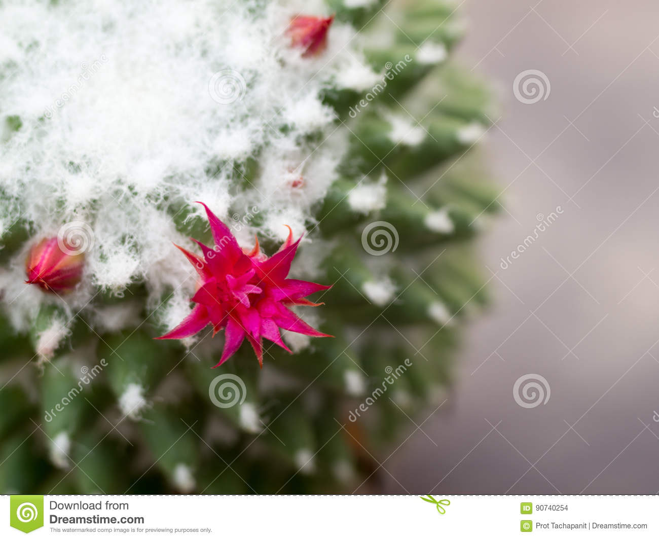 The Flowers Of The Pink Cactus Are On The Tree Stock Photo Image