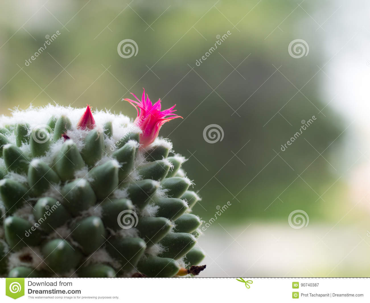 The Flowers Of The Pink Cactus Are On The Tree Stock Image Image
