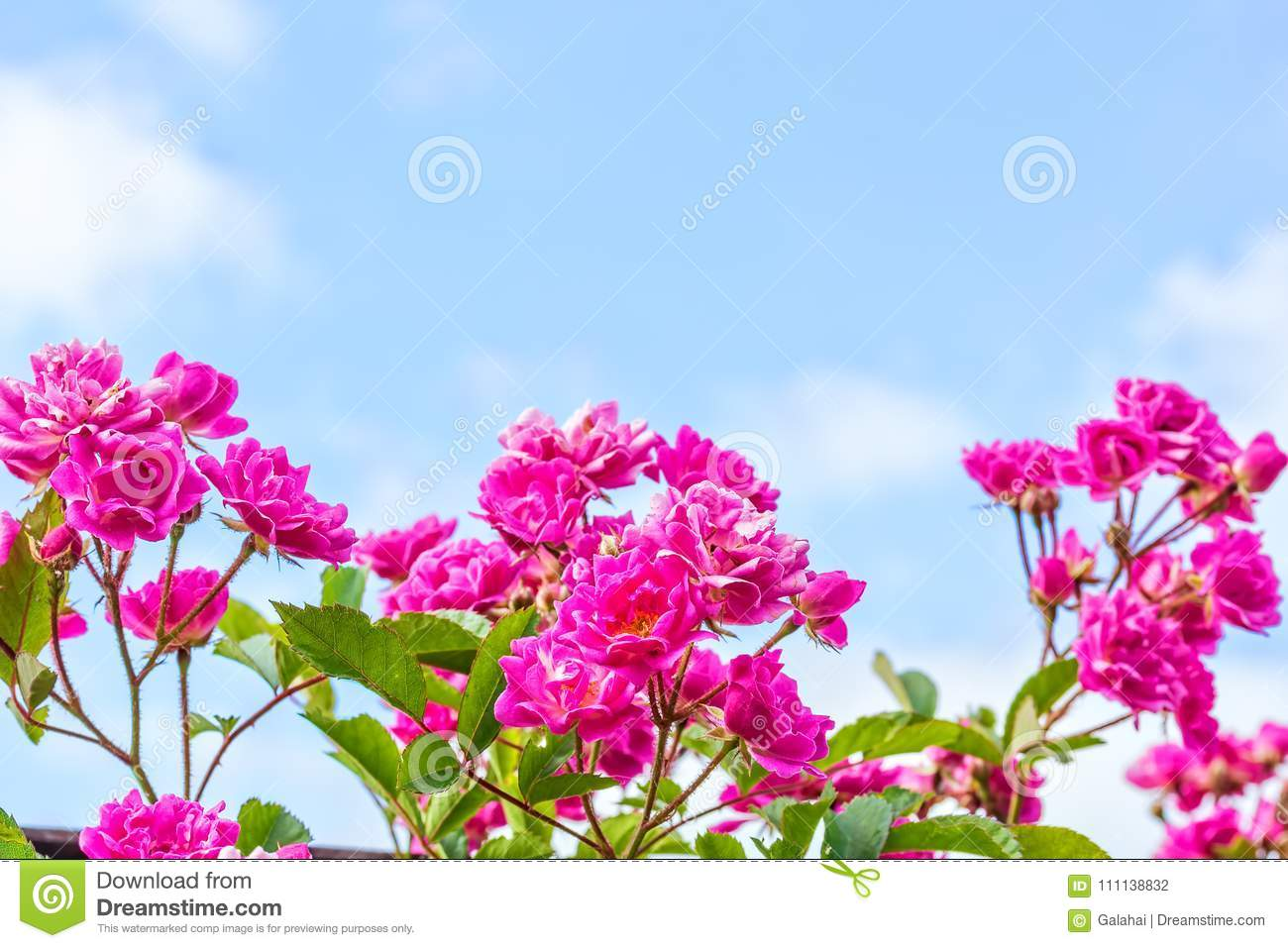 Flowers Of A Pink Rose On The Background Of Blue Sky Stock Photo