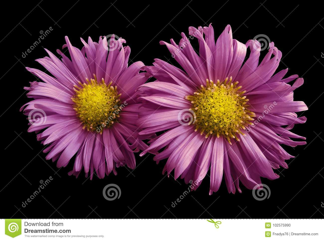 Flowers Of Pink Daisies On Black Isolated Background Two Chamomiles