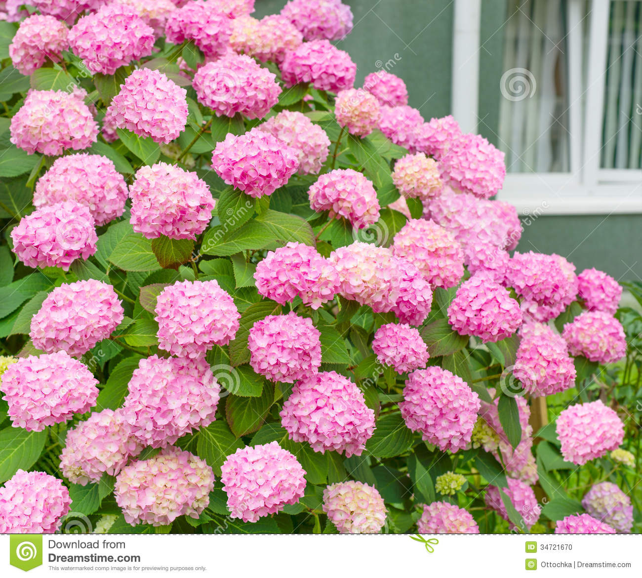 Flowers Pink Hydrangea Bush Stock Photo Image Of Natural