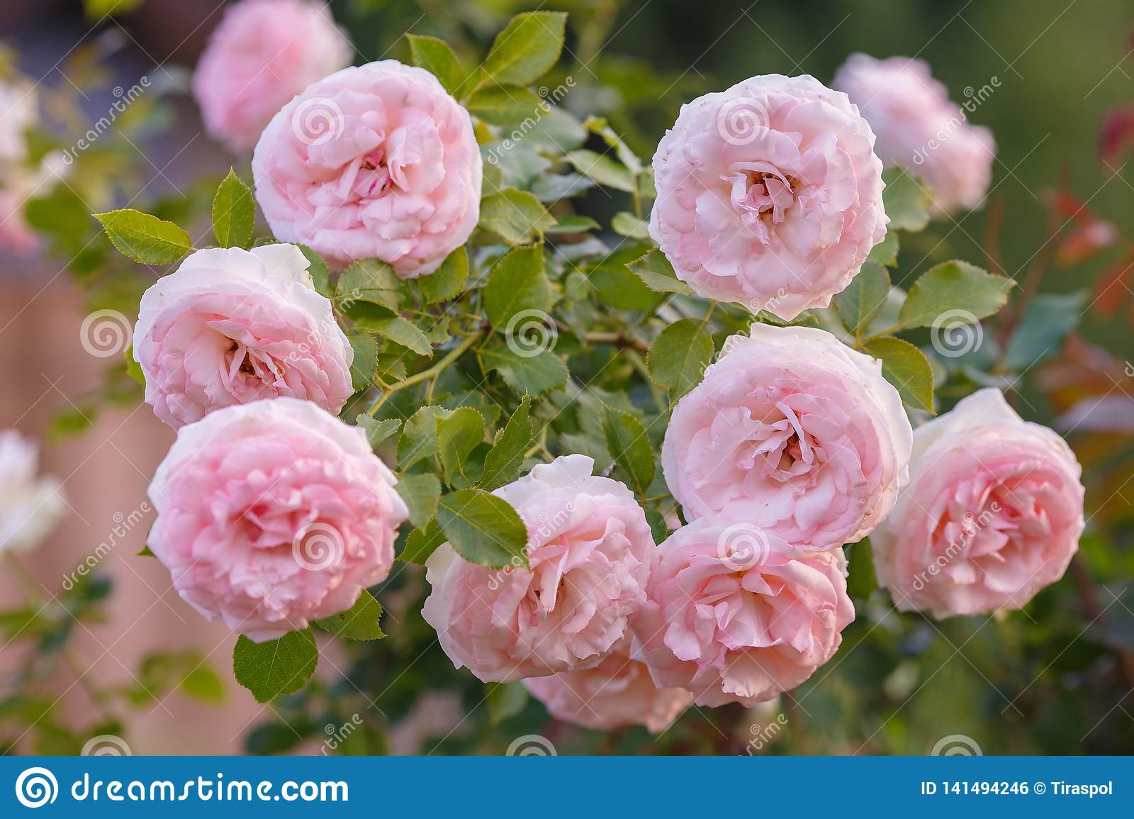 Flowers Of Pink Roses On The Bush As A Bouquet Cream Pink Rose Pierre De Ronsard Stock Photo Image Of Blossoming Aroma 141494246