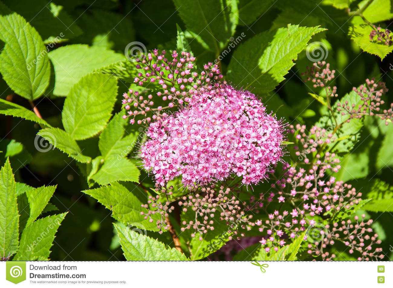 Flowers Pink Spirea Stock Photo Image Of Flowers Leaf 77348410