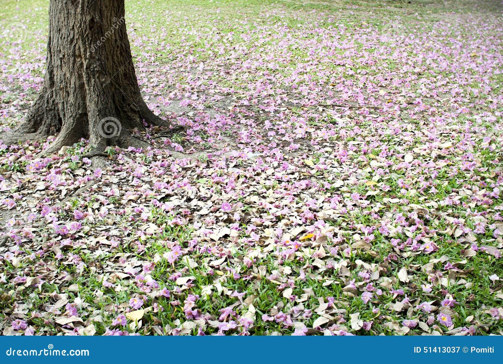 Flowers of pink trumpet tree falling on ground stock image image flowers of pink trumpet tree falling on ground mightylinksfo