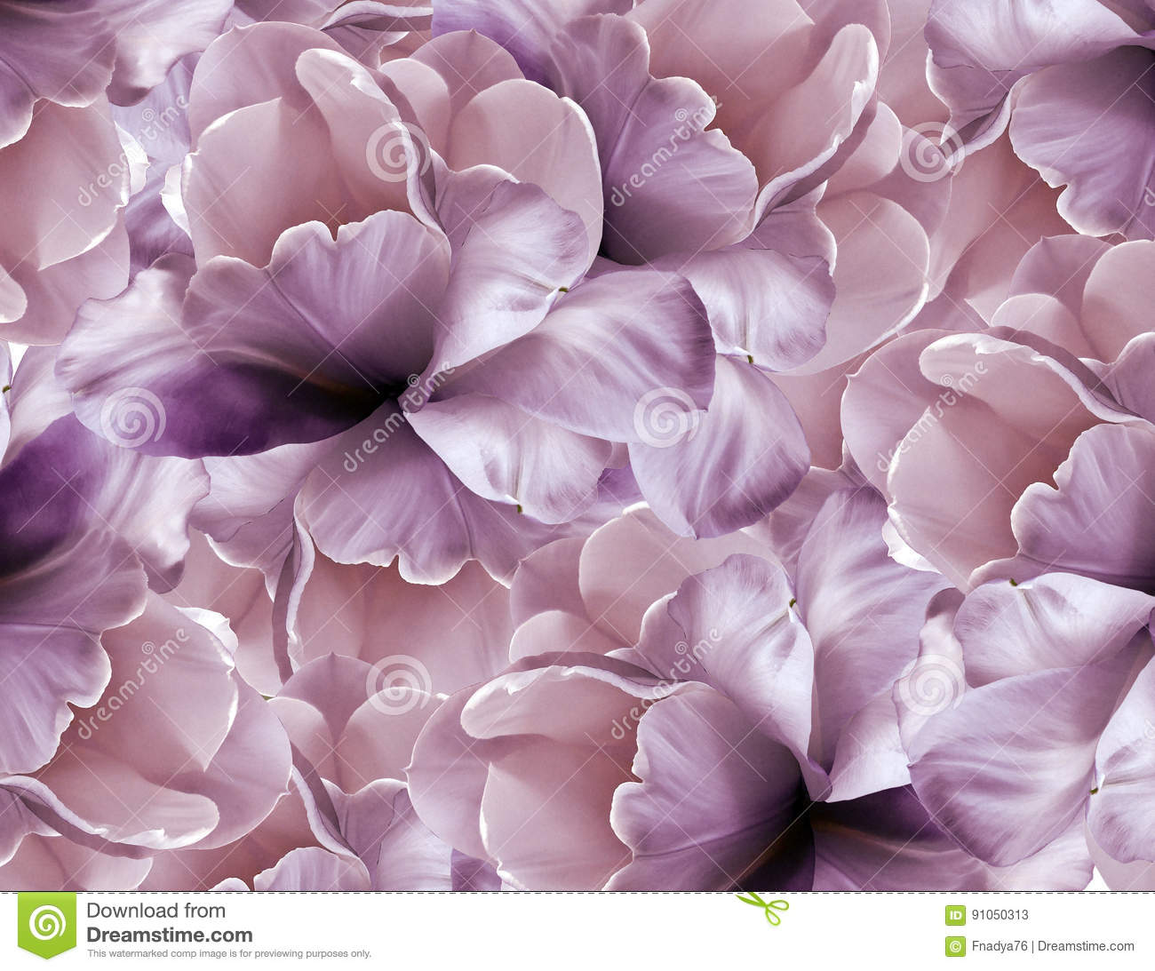 Flowers pink-violet background . Purple-white large petals flowers tulip. floral collage. Flower composition.