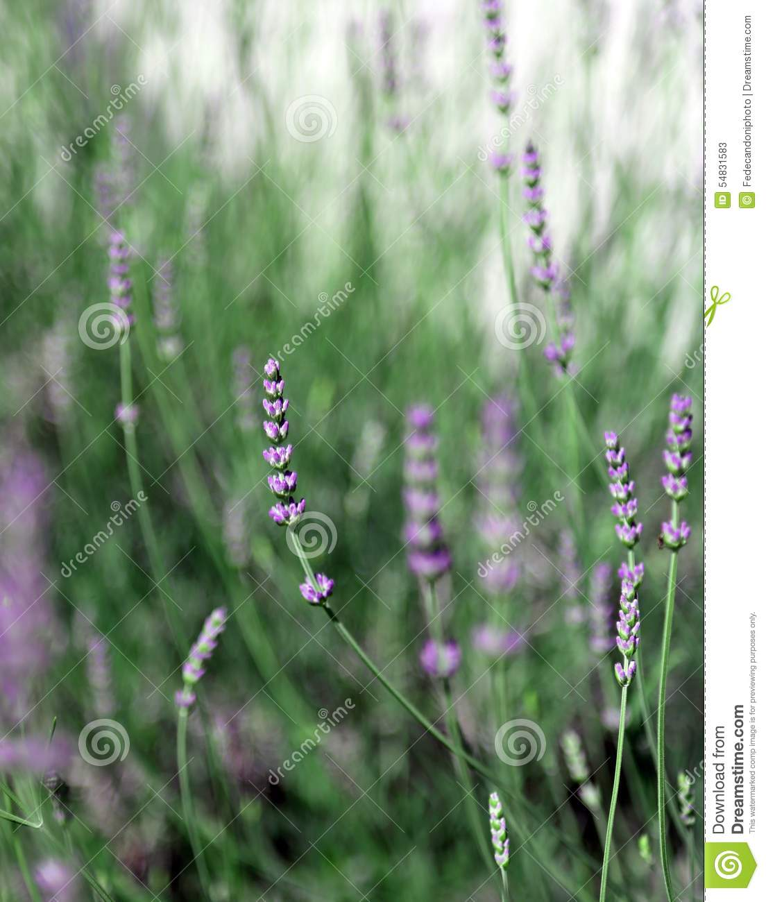 Flowers and plant of lavender in spring