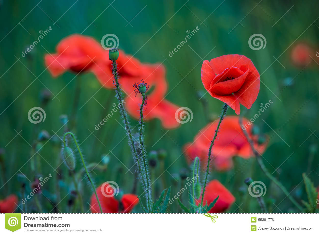 Flowers Poppies Field Colors Nature Meadow Green Red Summer Plan
