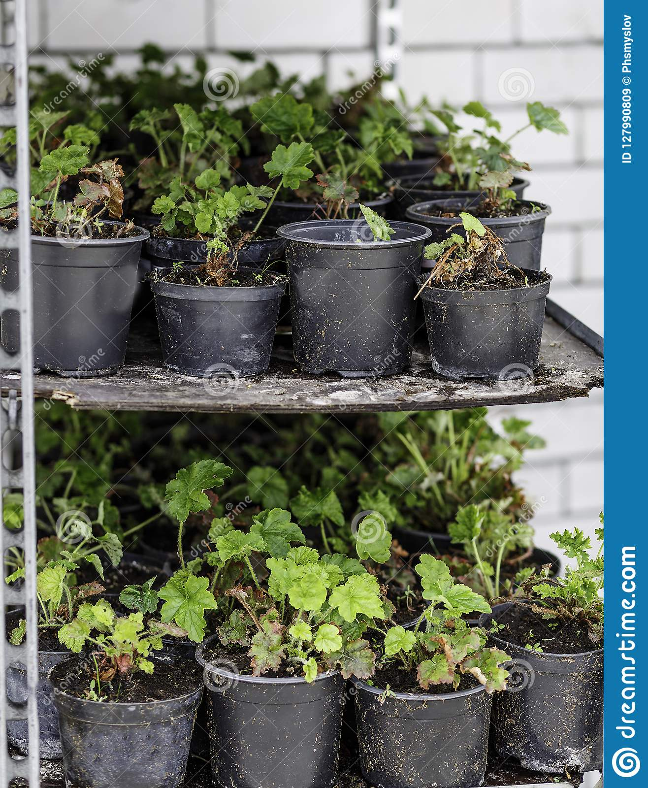 Flowers In Pots With Soil For Transplanting Them To Their