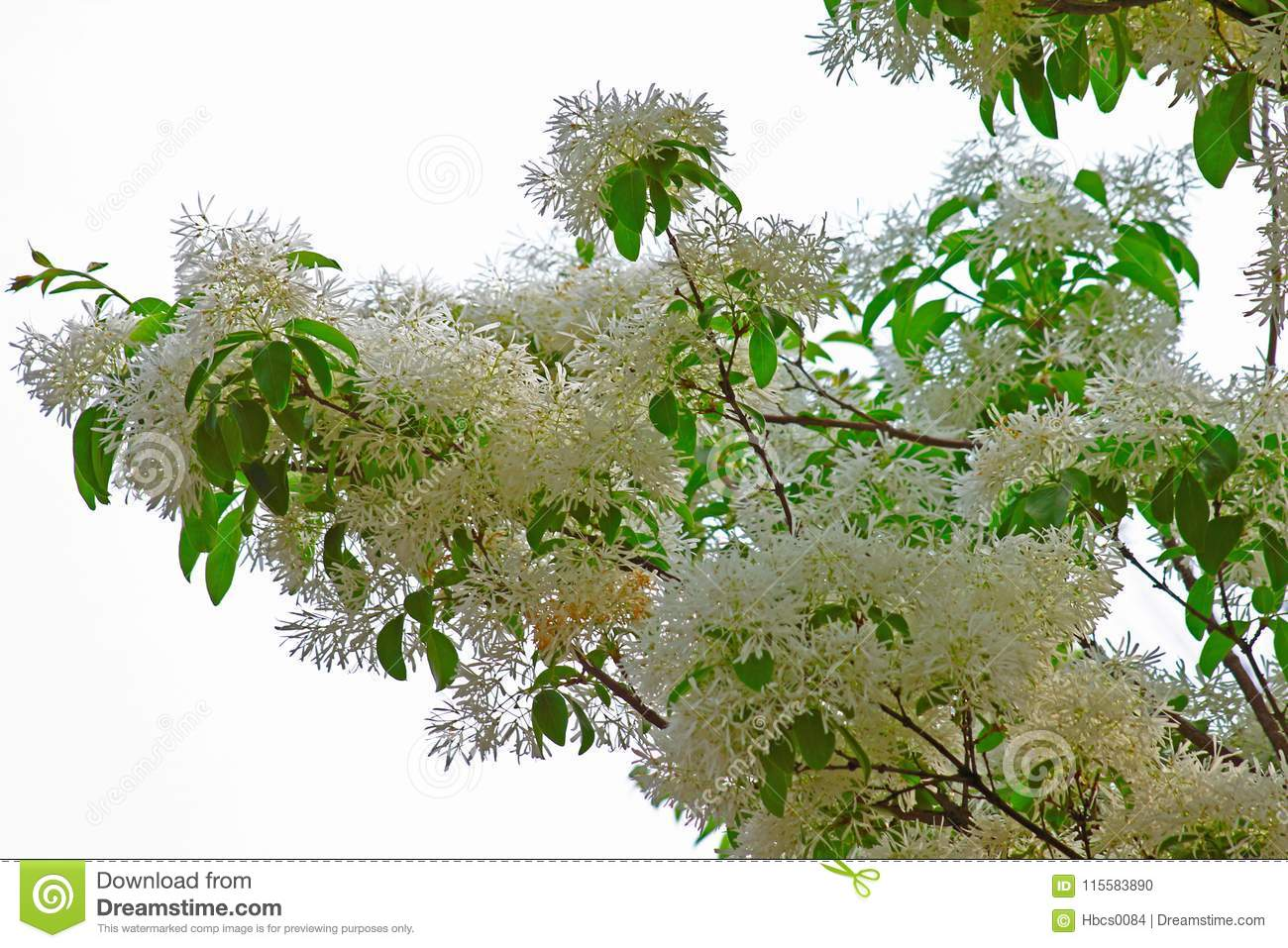 Tassel tree stock photo image of produced flowers 115583890 tassel tree mightylinksfo