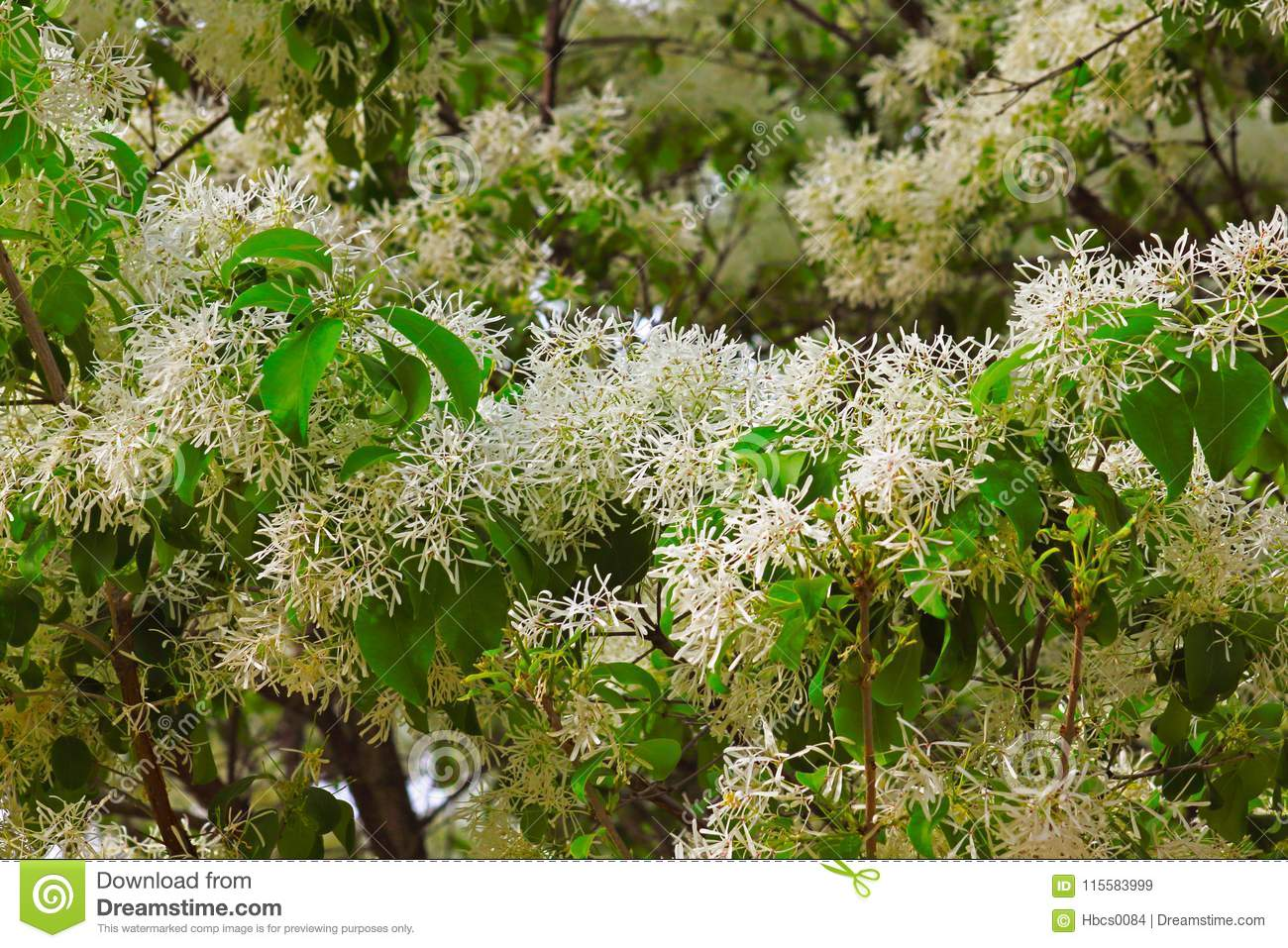 Tassel tree stock image image of feathery nature yellow 115583999 the flowers are produced in feathery panicles with a corolla subdivided into four slender lobes they are white pale yellow or tinged pinkoto taken in mightylinksfo