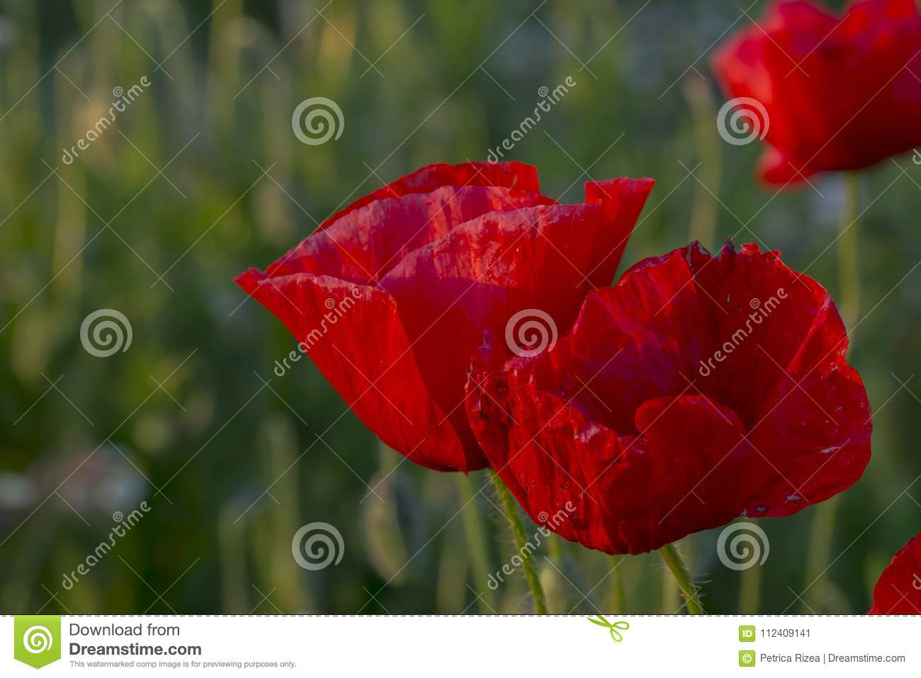 Flowers Red Poppies Blossom Close Up Poppy Head Red Poppy Flower
