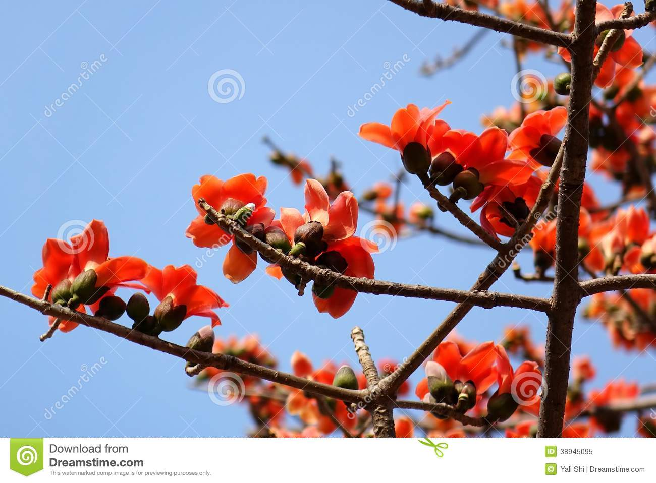 Flowers of the red silk cotton tree stock photo image 38945095 flower red tree dhlflorist Gallery