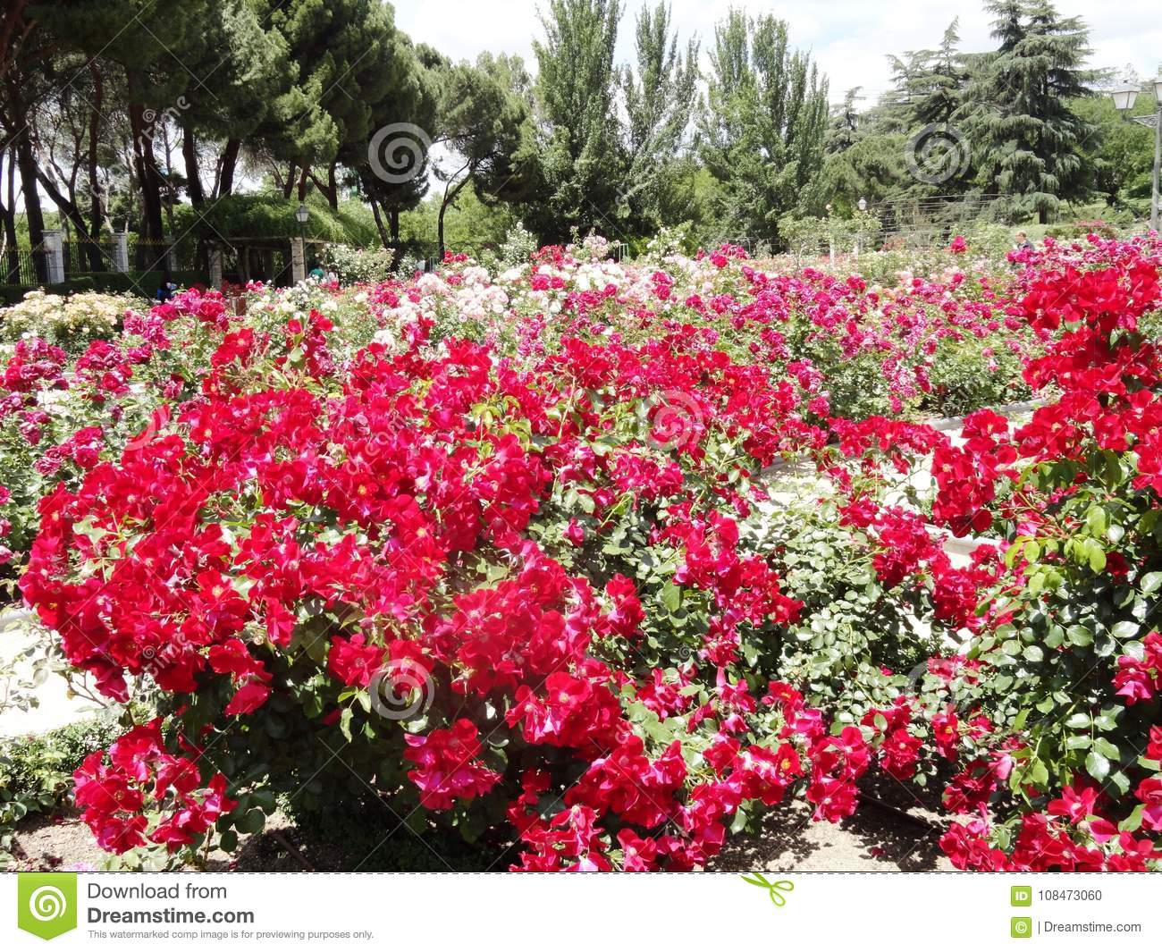 The best varieties of park roses for the Moscow region 86