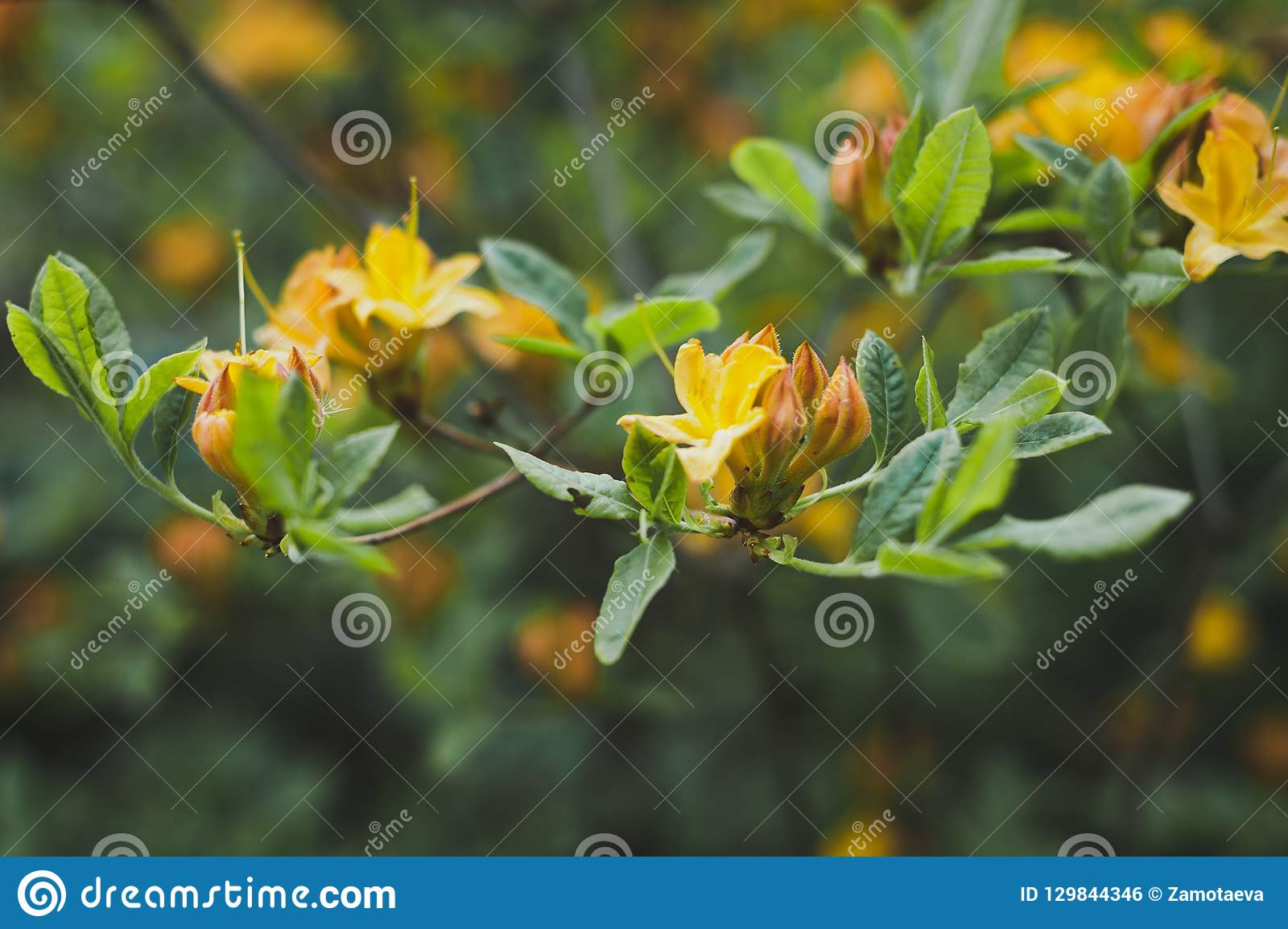 Flowers Of Rhododendron Yellow During Flowering 1529 Stock Photo
