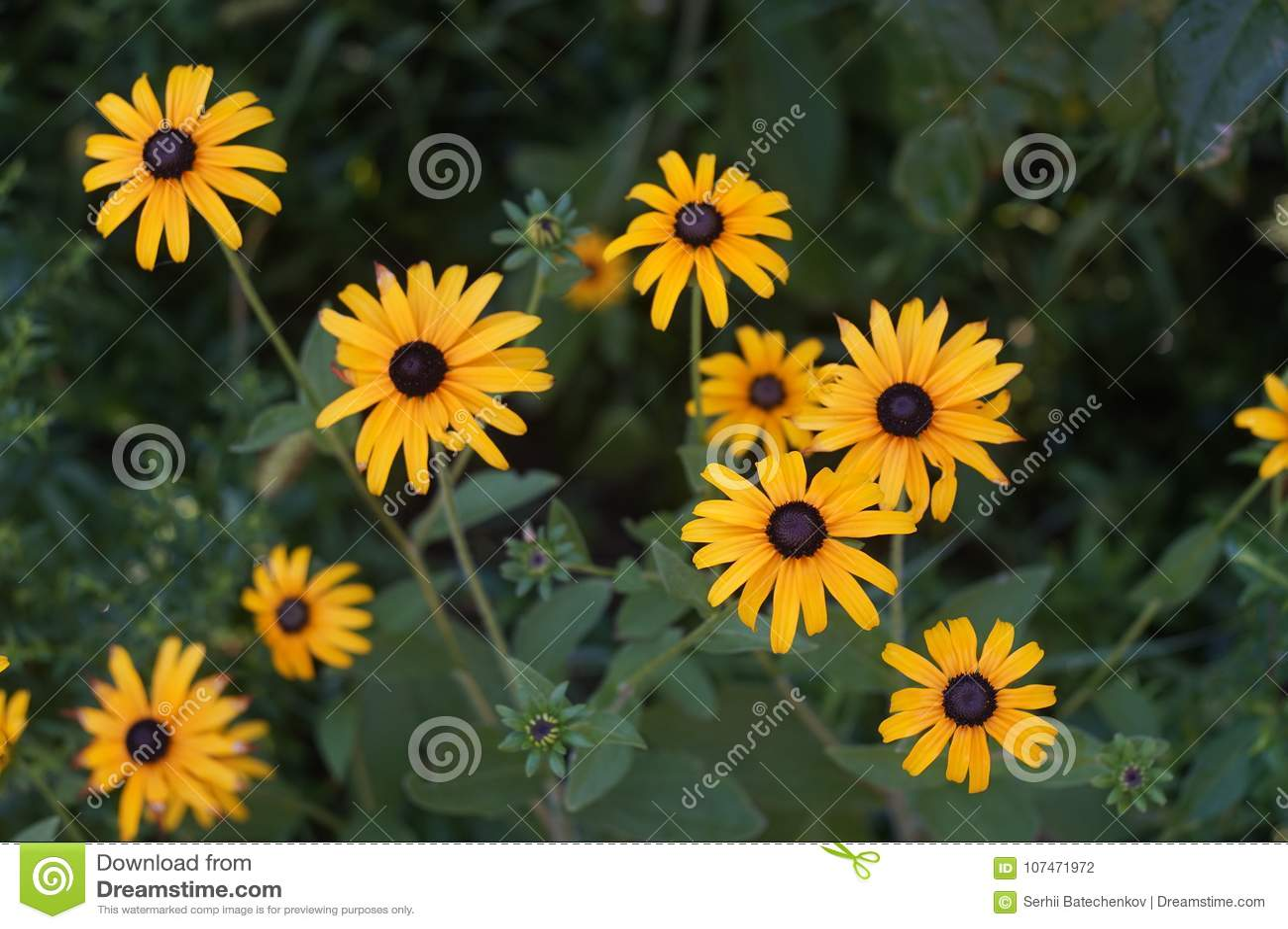Flowers Rudbeckia Hirta Or Black Eyed Susan In The Green Garden