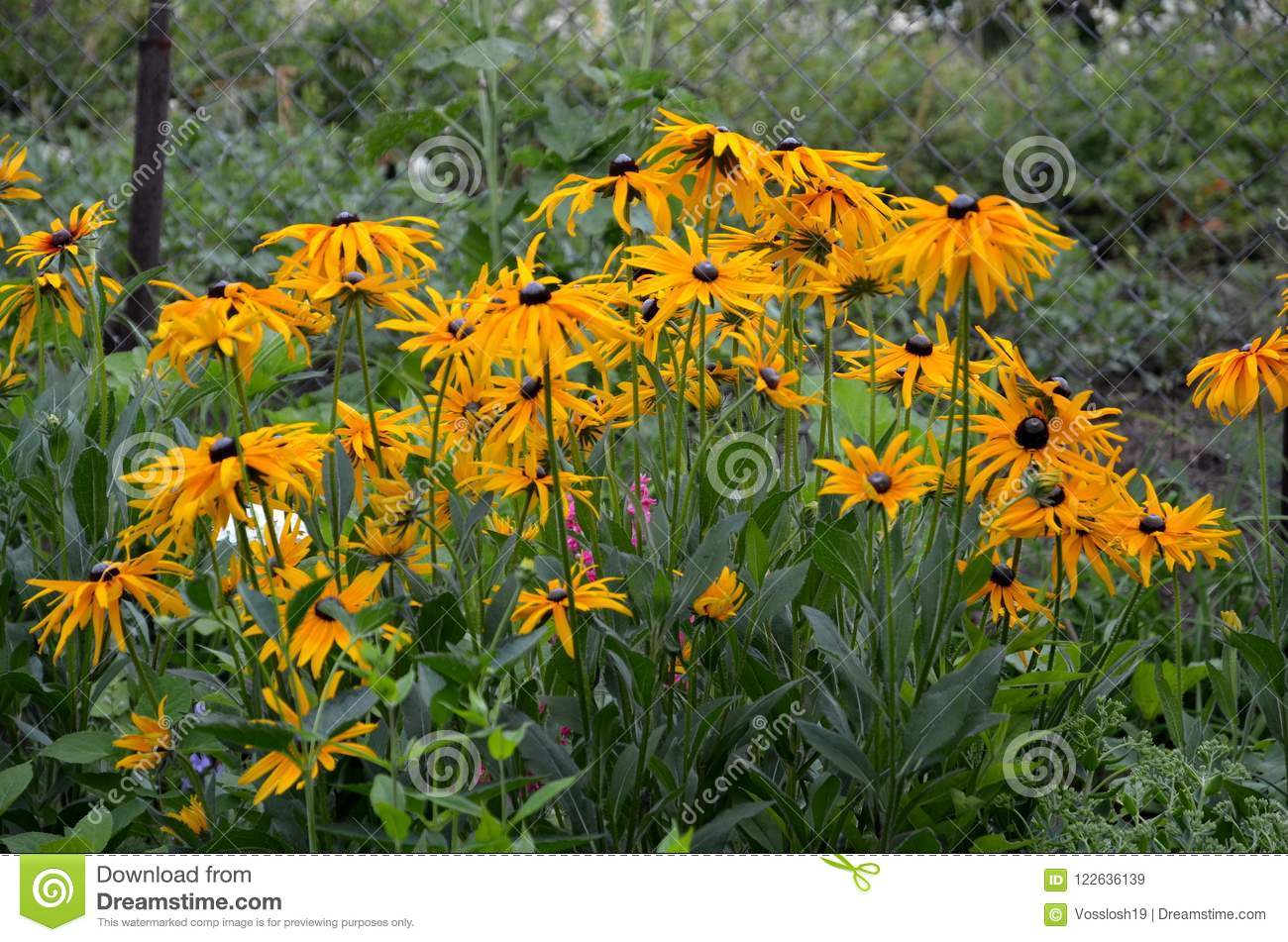 Flowers of rudbeckia are perennial stock image image of flowers flowers of rudbeckia are perennial mightylinksfo