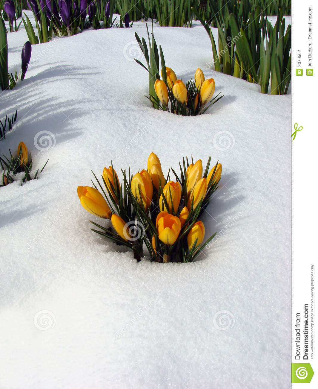 Flowers in the snow, Vancouver