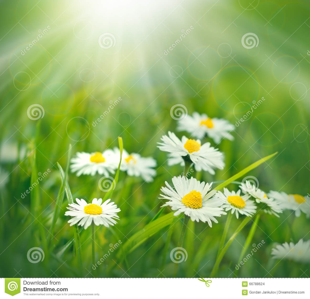 flowers spring daisy flowers lit by sun rays stock photo image