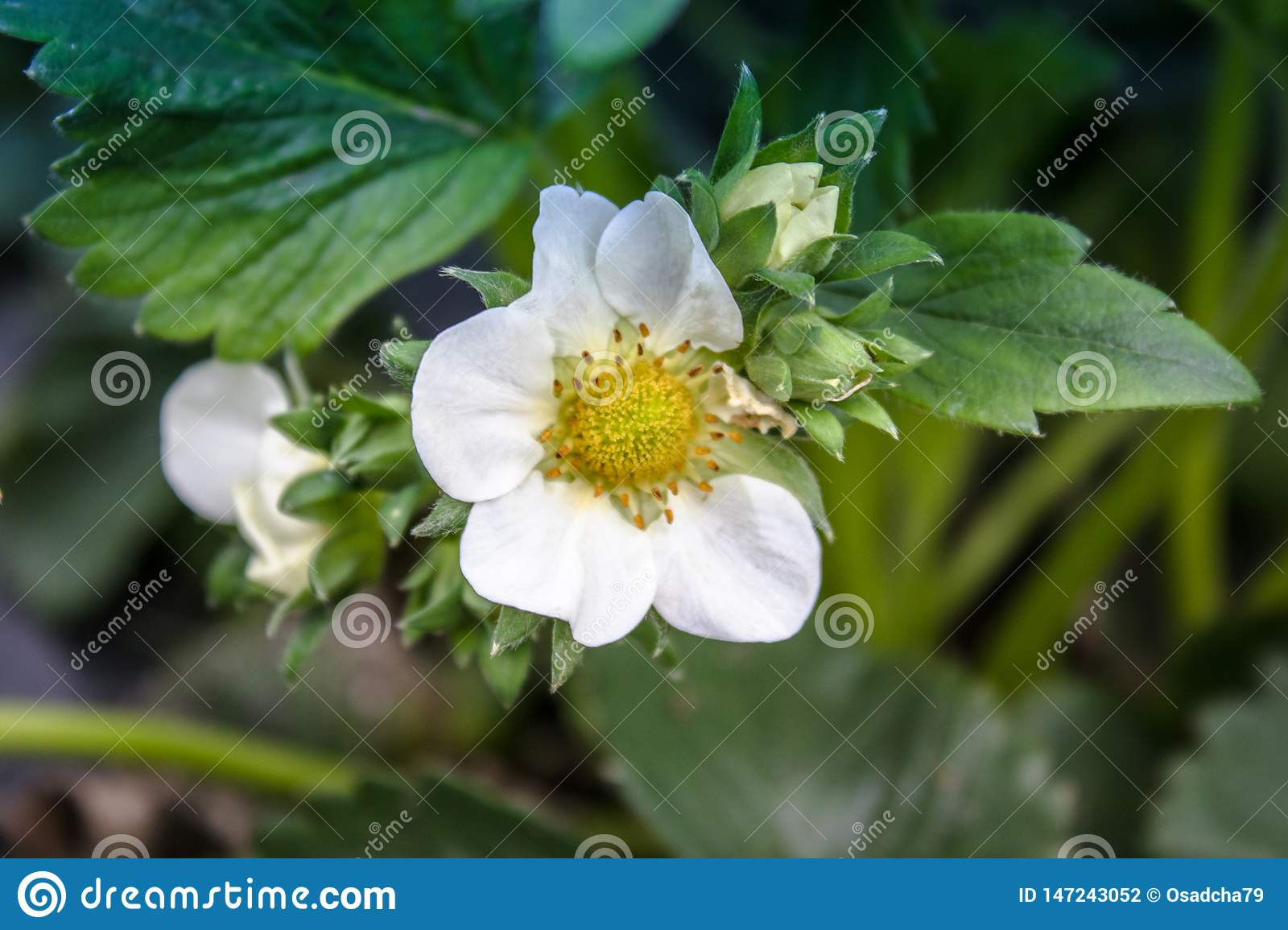 Flowers strawberries with green leaves