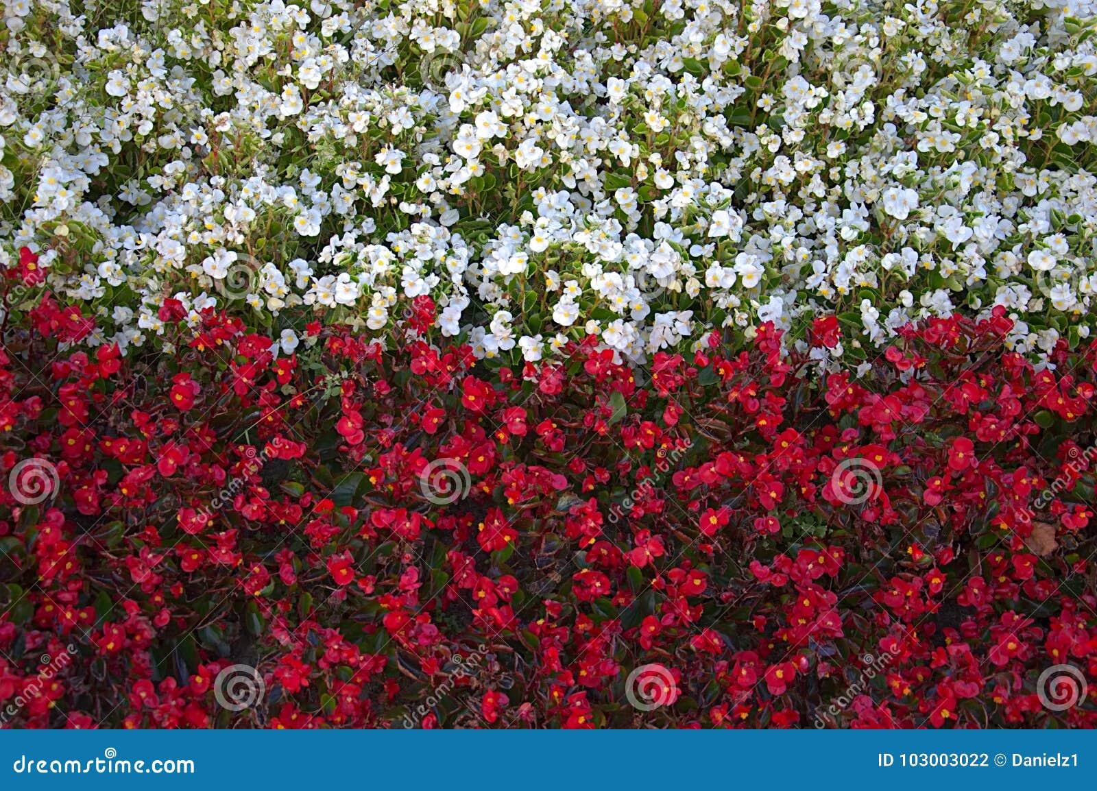 Flowers Stylized Into Polish Flag Stock Photo Image Of Color