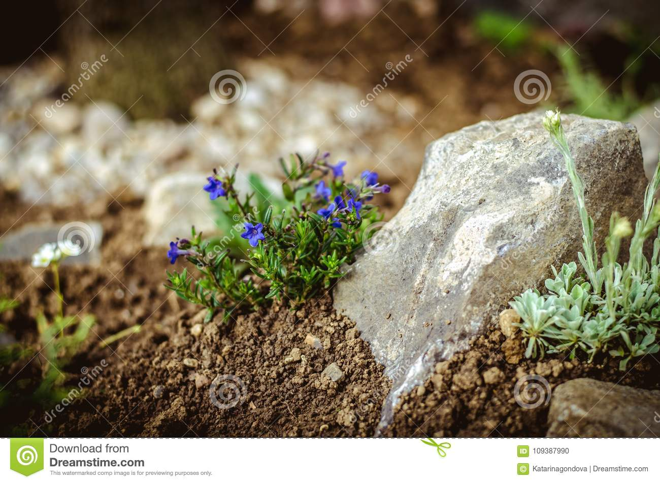 Rock Garden With Small Blue Blossoming Flowers Stock Photo Image