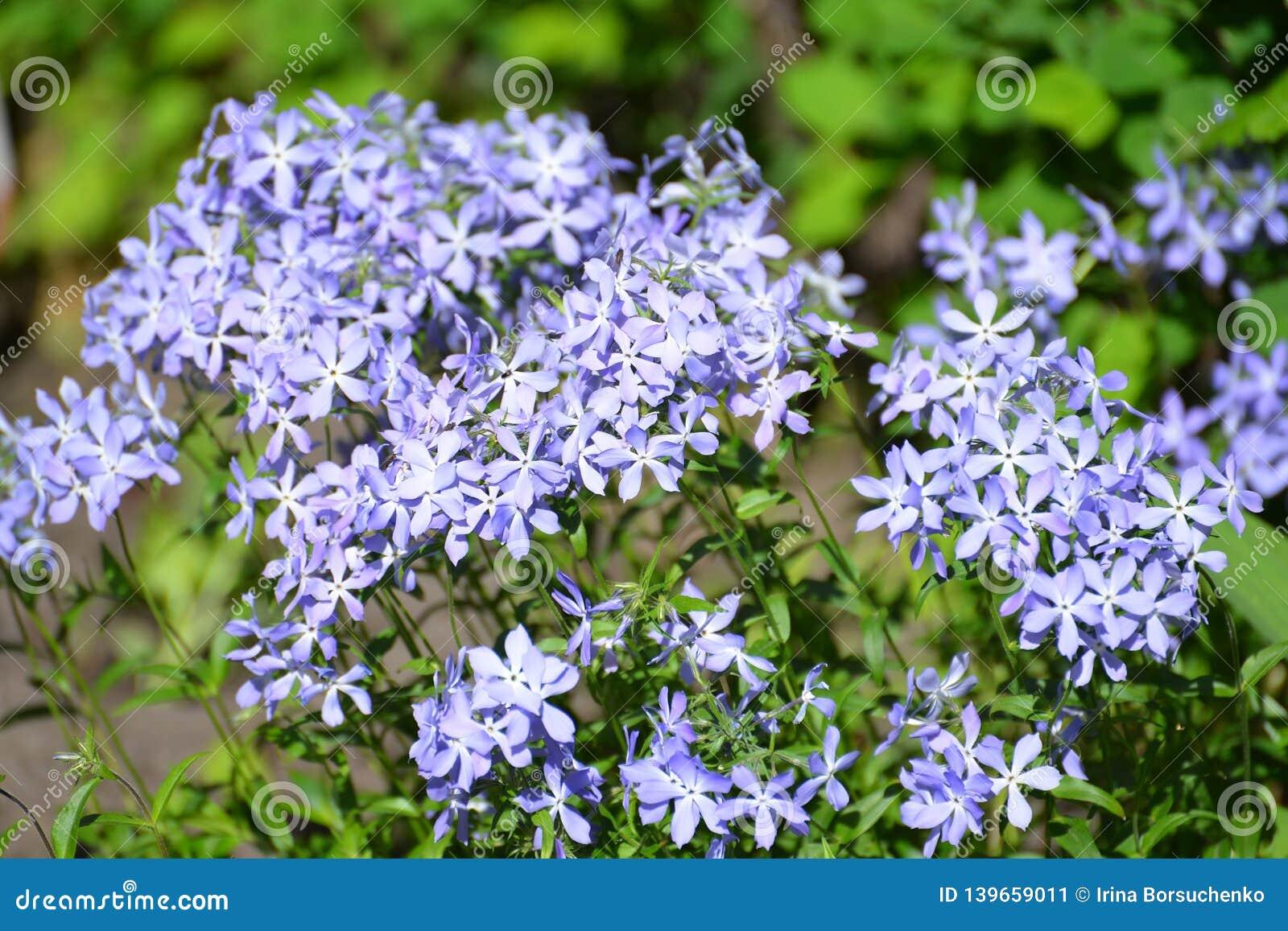 Flowers of the Sweet William phlox Phlox divaricata L